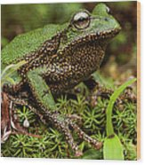 Marsupial Frog Gastrotheca Sp, A Newly Wood Print