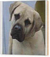 Mastiff 402 Wood Print