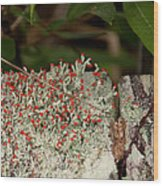 Matchstick Lichen Wood Print