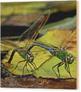 Mating Dragonflies Wood Print
