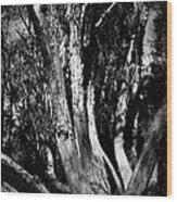 Melaleuca Tree Wood Print
