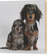 Merle Dachshund And Doxie Doddle Pup Wood Print