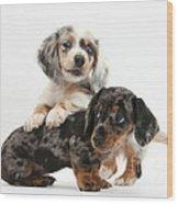 Merle Dachshund Pups Wood Print