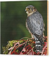 Merlin In The Rain Wood Print