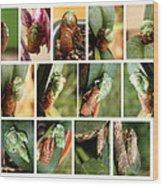 Metamorphosis Of A Cicada Wood Print by Emanuel Tanjala
