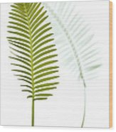 Mexican Cycad Leaf Mexico Wood Print
