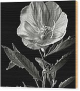 Mexican Evening Primrose In Black And White Wood Print