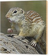 Mexican Ground Squirrel Wood Print