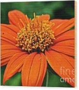 Mexican Sunflower Wood Print