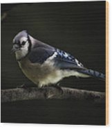 Midnight Light Blue Jay Wood Print