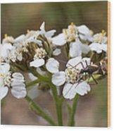 Milkweed Bug Macro Wood Print