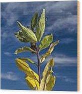 Milkweed Pods Against A Blue Sky Background Wood Print