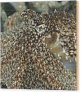 Mimic Octopus Head, North Sulawesi Wood Print