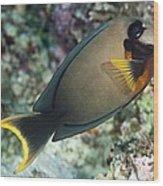 Mimic Surgeonfish Wood Print by Matthew Oldfield