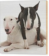 Miniature Bull Terrier Bitch, Lily Wood Print by Mark Taylor