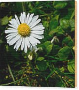 Miniature Daisy In The Grass Wood Print