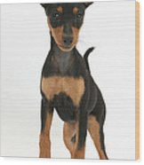Miniature Pinscher Puppy Wood Print
