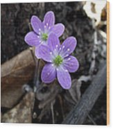 Minnesota Spring Wildflower Wood Print