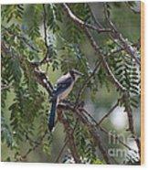 Mississippi Blue Jay Wood Print