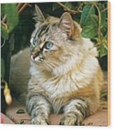 Mixed Breed Cat--mia Wood Print