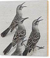 Mockingbirds Mimidae Galapagos, Equador Wood Print