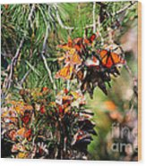 Monarch Butterfly Gathering Wood Print