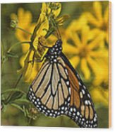 Monarch Butterfly On Tickseed Sunflower Din146 Wood Print