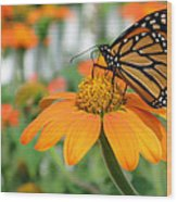Monarch Butterfly On Tithonia Flower Wood Print