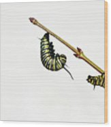 Monarch Caterpillar Wood Print by Jim McKinley