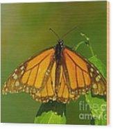Monarch On Hackberry Wood Print
