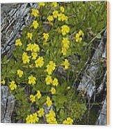 Monkey-flower (mimulus Primuloides) Wood Print