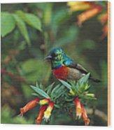 Montane Double-collared Sunbird Wood Print