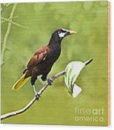 Montezuma Oropendula - Dp Wood Print