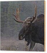 Moose, Algonquin Provincial Park Wood Print