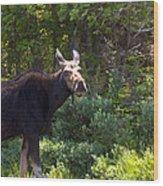 Moose Baxter State Park 4 Wood Print