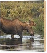Moose Drinking In A Pond, Tombstone Wood Print