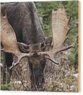 Moose. Male Feeding In A Forested Area Wood Print