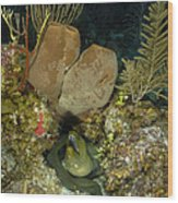Moray Eel, Belize Wood Print