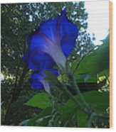 Morning Glory 01 Wood Print