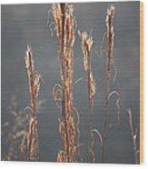 Morning Sunshine On Tall Reeds Wood Print