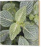 Mosaic Plant (fittonia Albivenis) Leaves Wood Print