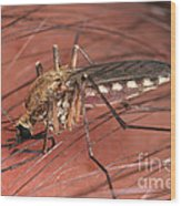 Mosquito Biting A Human Wood Print