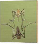 Mosquito Culicidae Freshly Hatched Wood Print