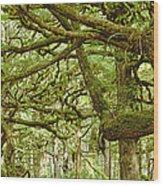 Moss-covered Trees Wood Print by David Nunuk