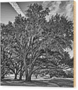 Moss-draped Live Oaks Wood Print