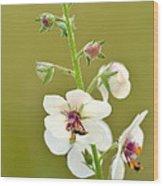 Moth Mullein Wood Print