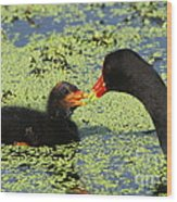 Mother Common Gallinule Feeding Baby Chick Wood Print