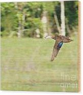 Mottled Duck Flying Wood Print