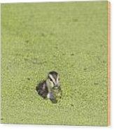 Mottled Duckling Wood Print