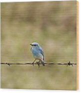 Mountain Bluebird On A Fence Wire Wood Print by Philippe Widling